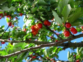 cherries hanging on a branch