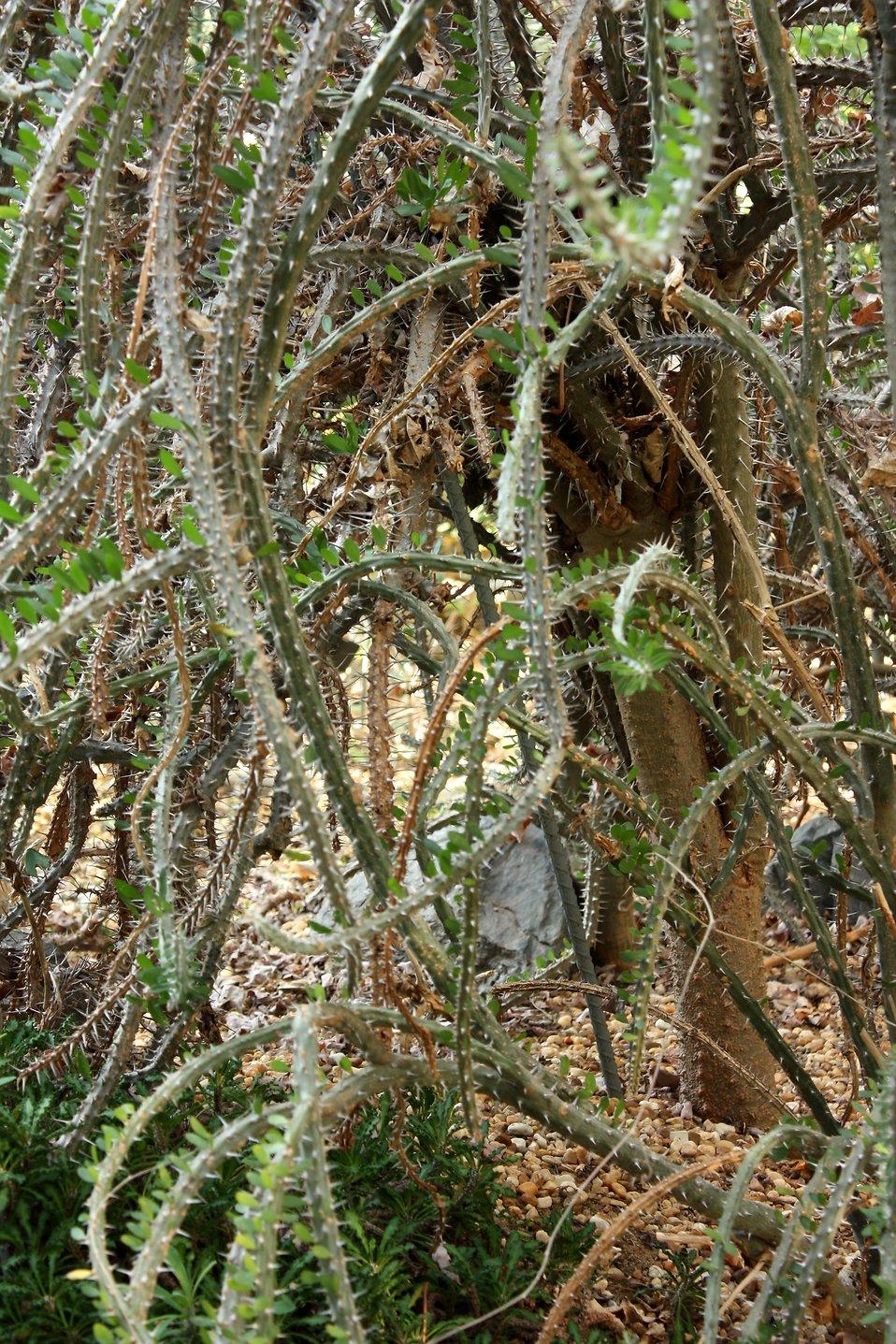 thorny plants