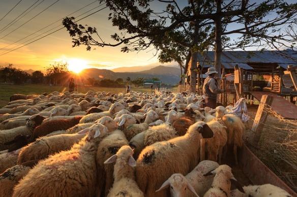 sheep congregating with shepherd
