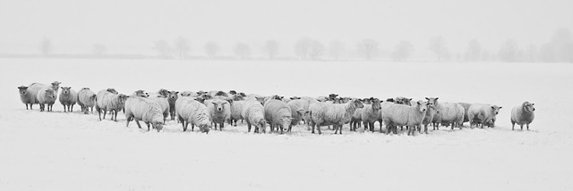 sheep in snow covered field