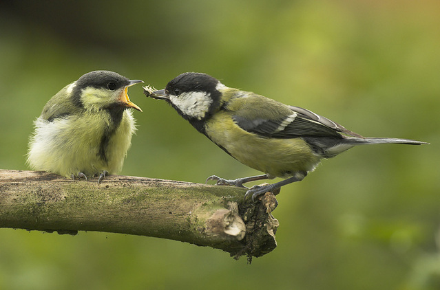 A great tit feeding its young.