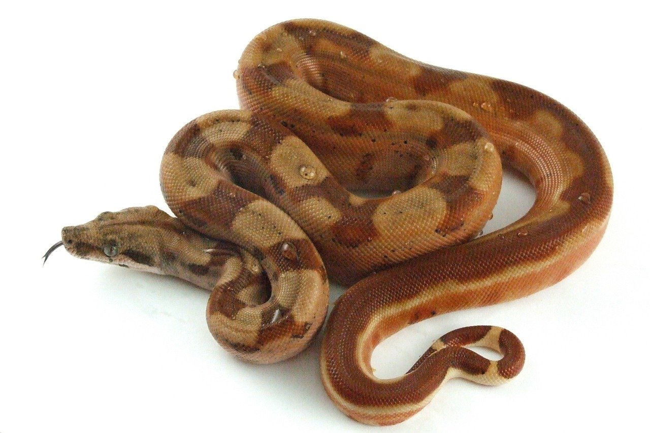 Photo of a boa constrictor